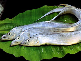 Ribbon Fish